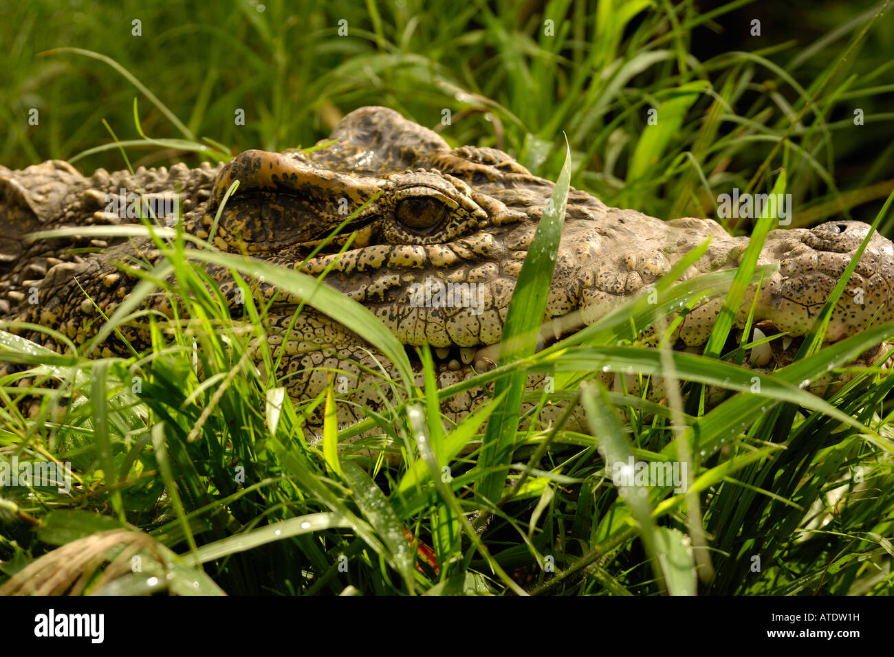 Cuban Crocodile Crocodylus rhombifer endangered captive Florida - Stock Image