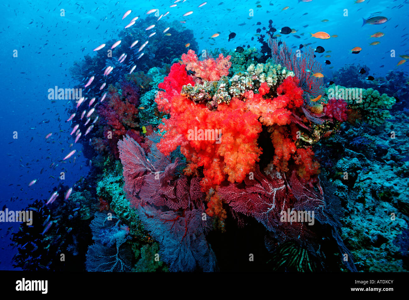 A tropical coral reef provides shelter for huge numbers of animals Fiji Indo Pacific - Stock Image