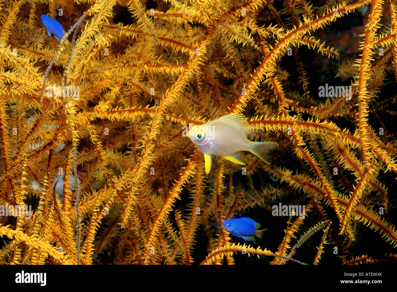 Black coral Antipathes sp forms large trees on deep reefs that often provide shelter for juvenile fishes Fiji Indo - Stock Image