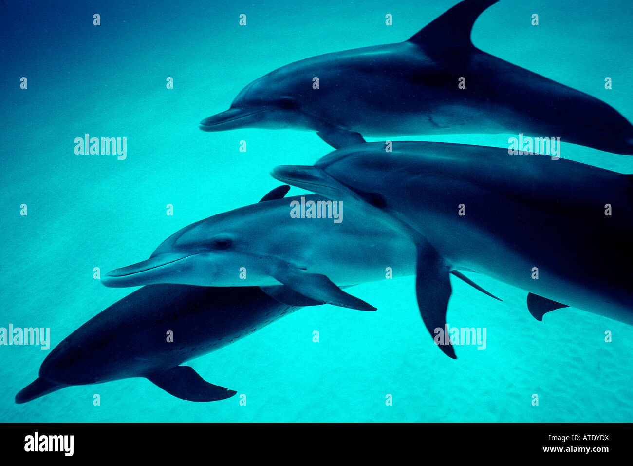Atlantic spotted dolphin Stenella attenuata are found in the tropical Atlantic Grand Bahama Bank Bahamas - Stock Image