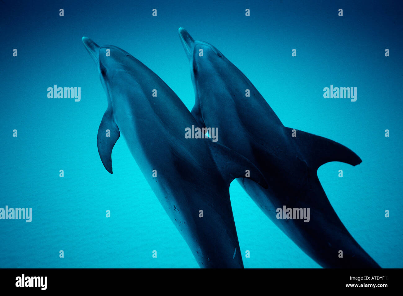 Atlantic spotted dolphin Stenella attenuata are found in the tropical Atlantic Grand Bahamas Bank Bahamas - Stock Image