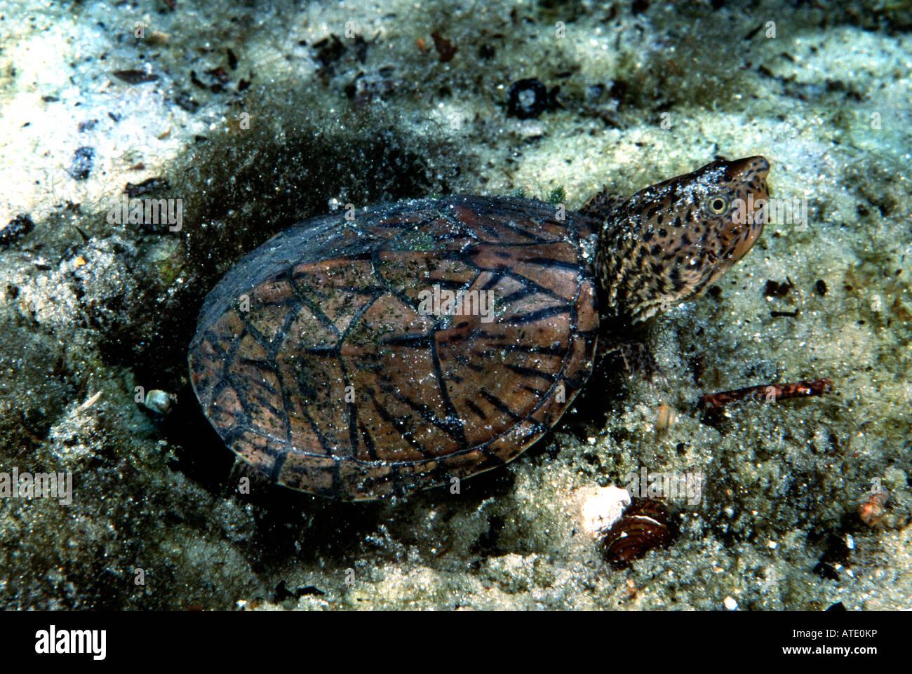Florida snapping Turtle Chelydra serpentina osceola Rainbow Springs Florida USA - Stock Image