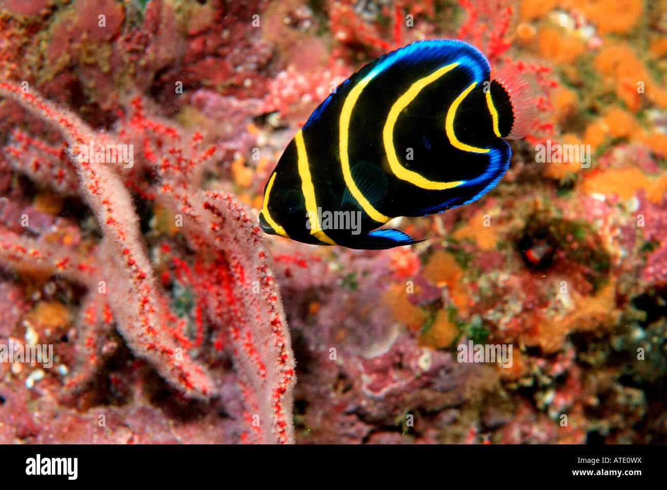 Cortez Angelfish Stock Photos & Cortez Angelfish Stock Images - Alamy