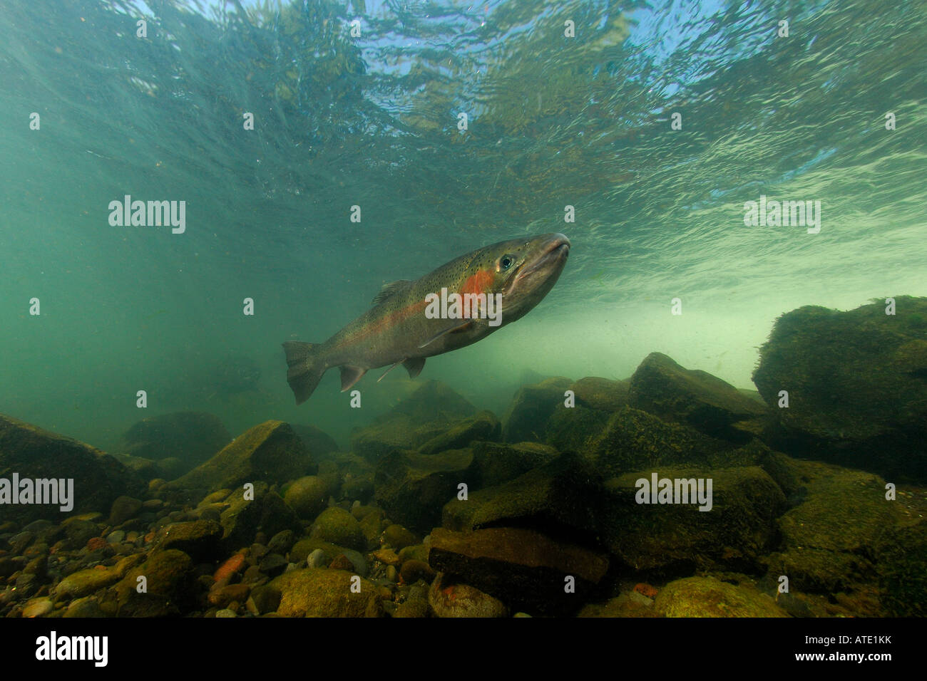 Steelhead Oncorhynchus mykiss Rogue River Oregon - Stock Image