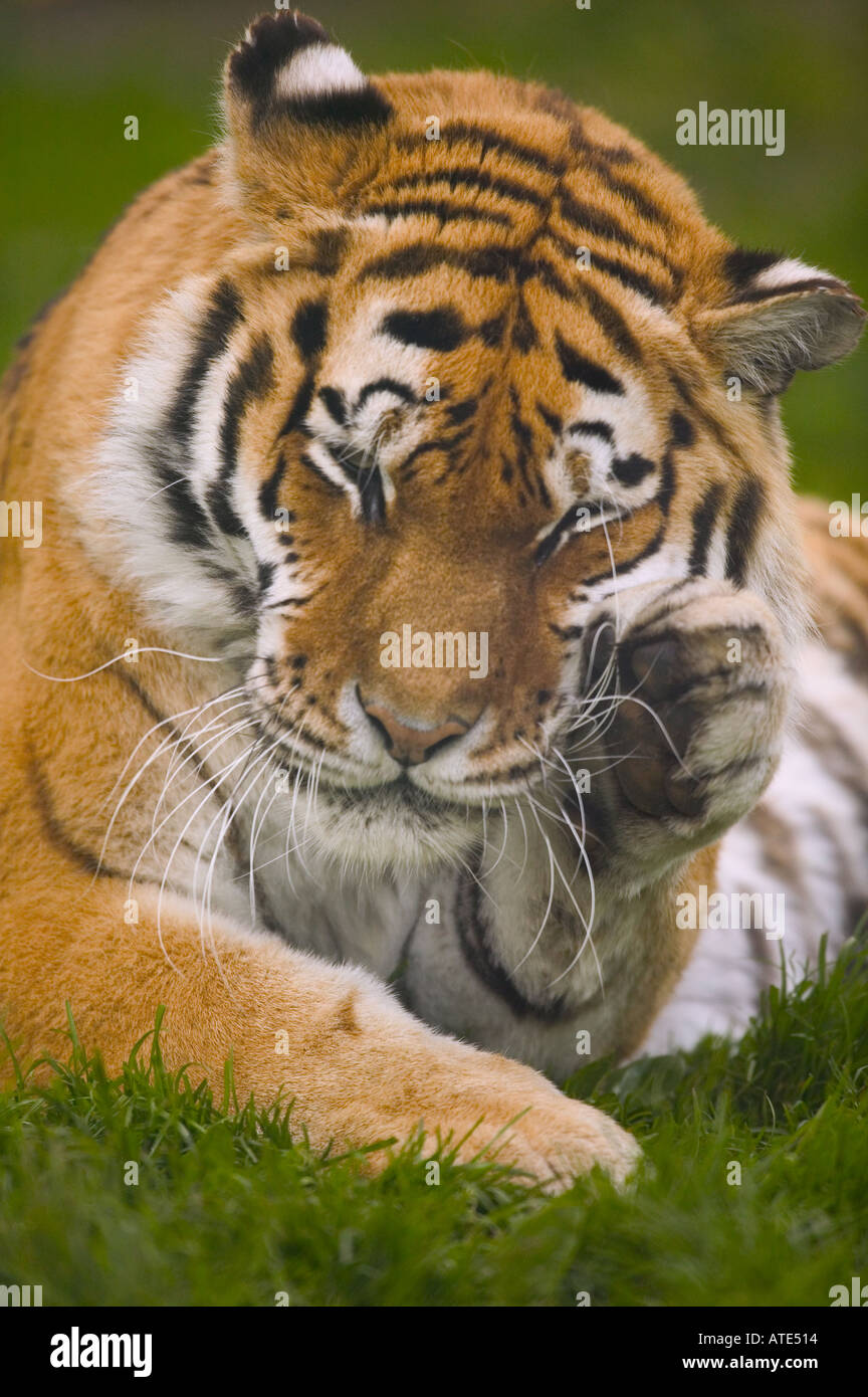 Tiger grooming peacefully sctatching - Stock Image