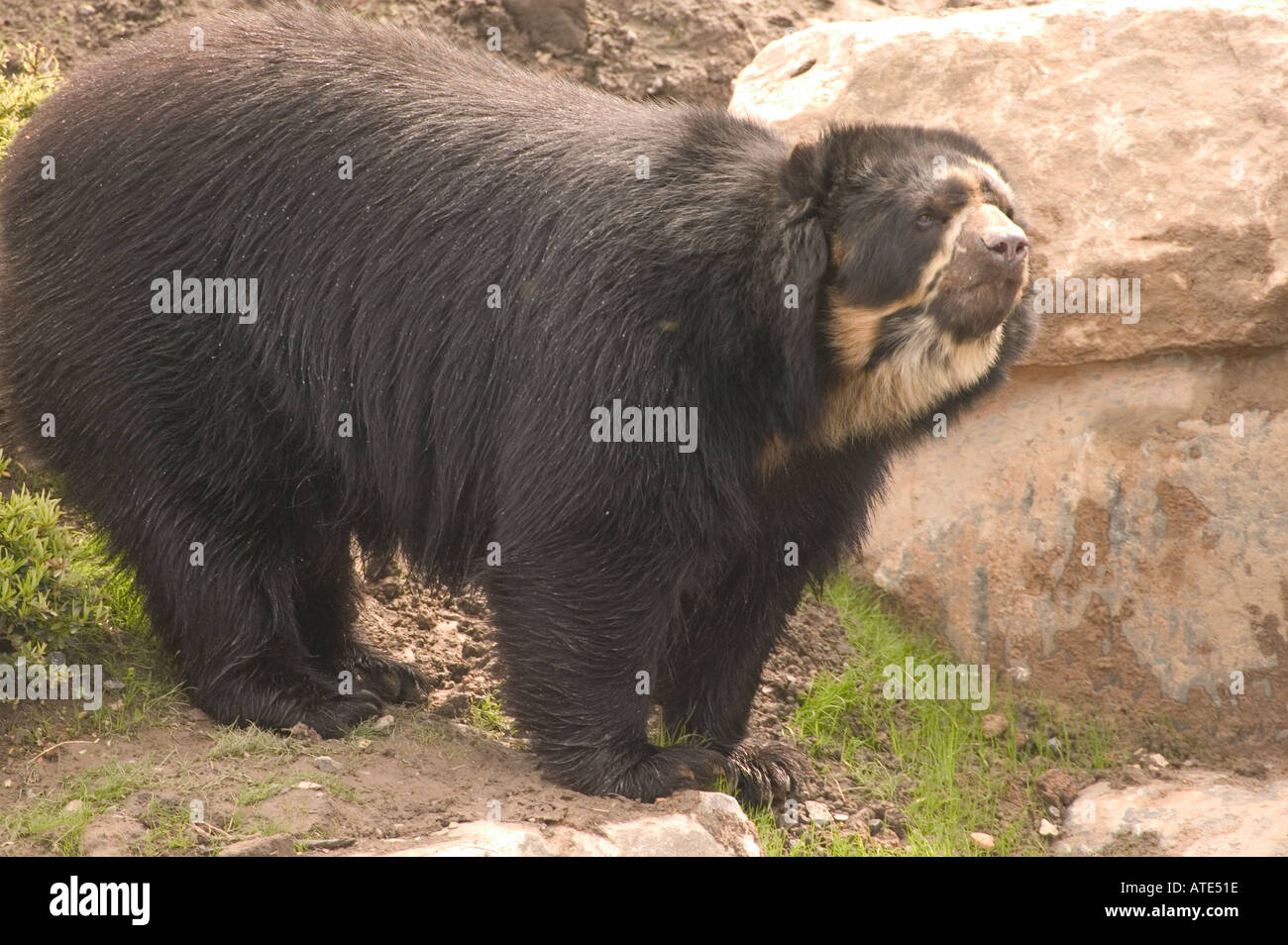 Spectacled Bear Tremarctos ornatus watchful and wary curious Stock Photo