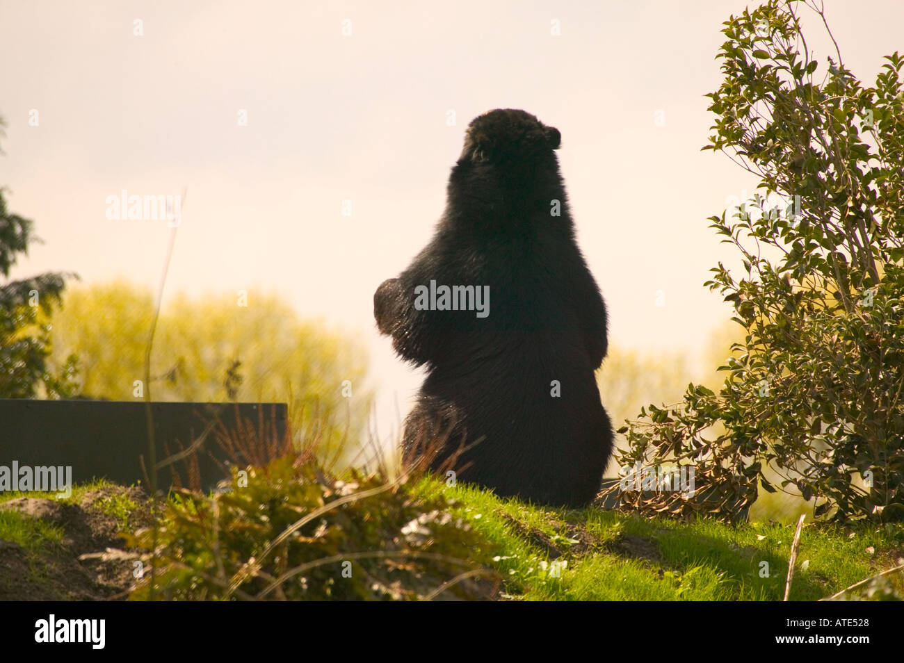 Lone Bear Resting at Sunset - Stock Image