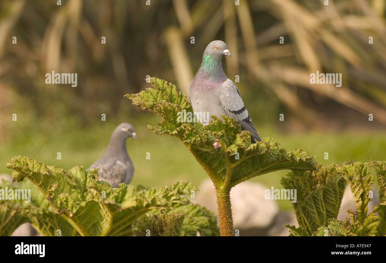 Home is where the heart is for this pigeon - Stock Image