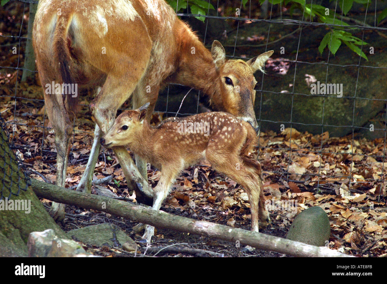 Pere David Deer Two Hours Old Born In Bronx Zoo Captivity Rare Breed