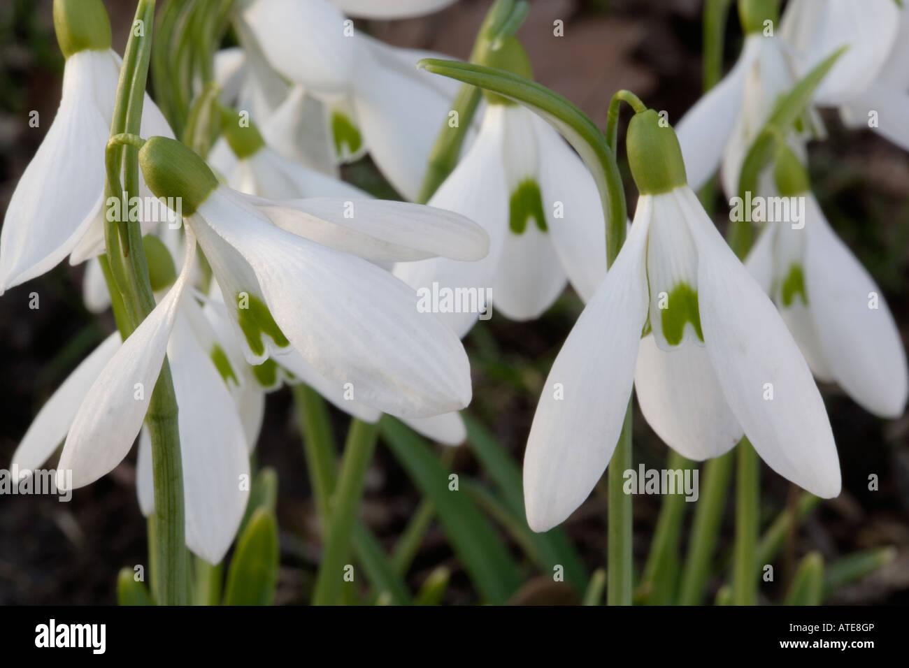 Snowdrop Flowers In Winter February England Uk Stock Photo 16291269