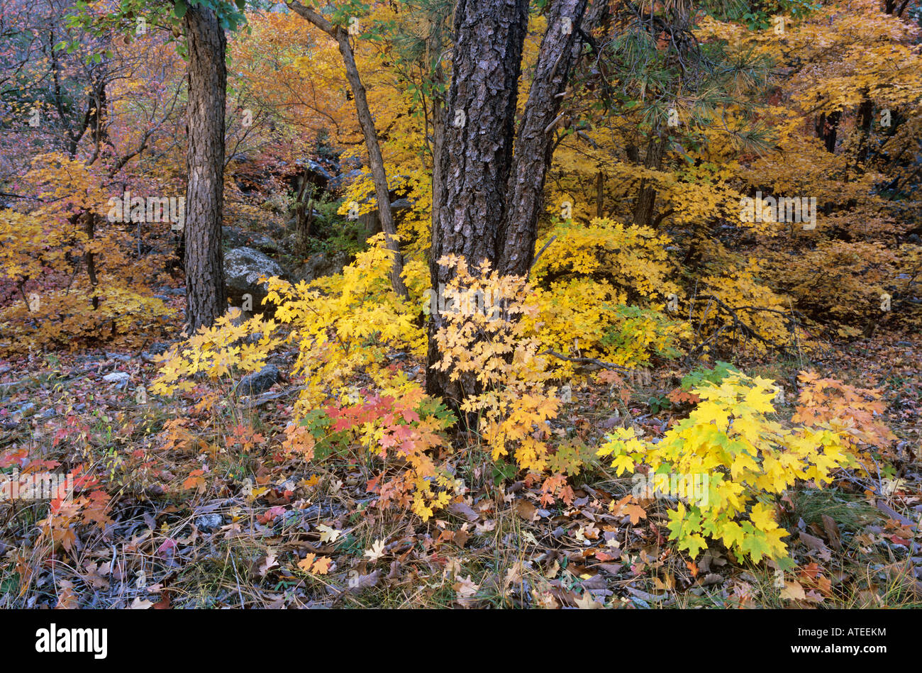 Bigtooth Maples Ponderosa Pine fall colors McKittrick Canyon Guadalupe Mountains National Park Texas USA Stock Photo