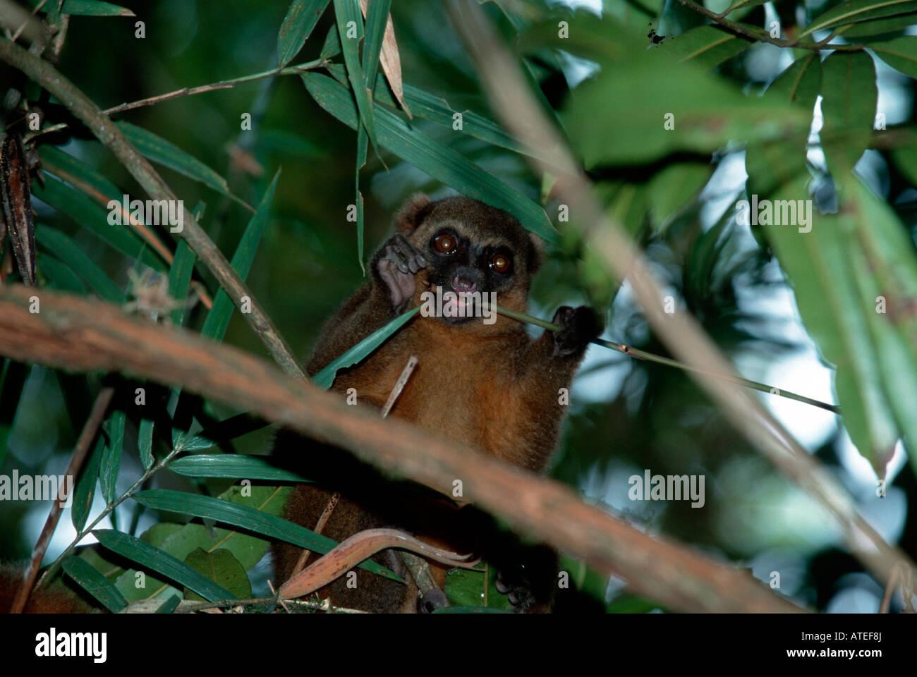 Golden Bamboo Lemur / Golden Gentle Lemur - Stock Image