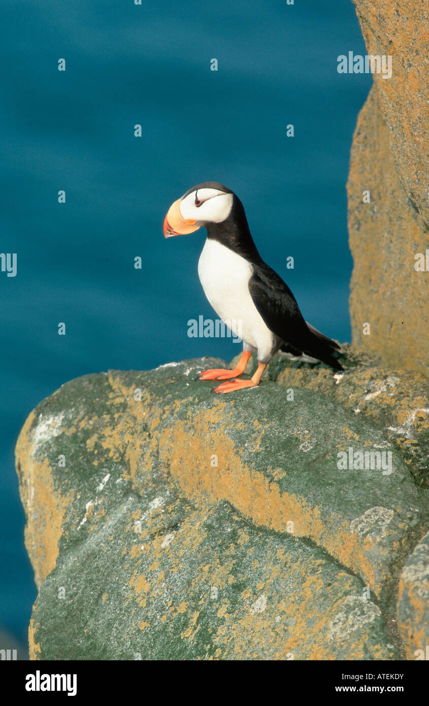 Horned Puffin Stock Photo