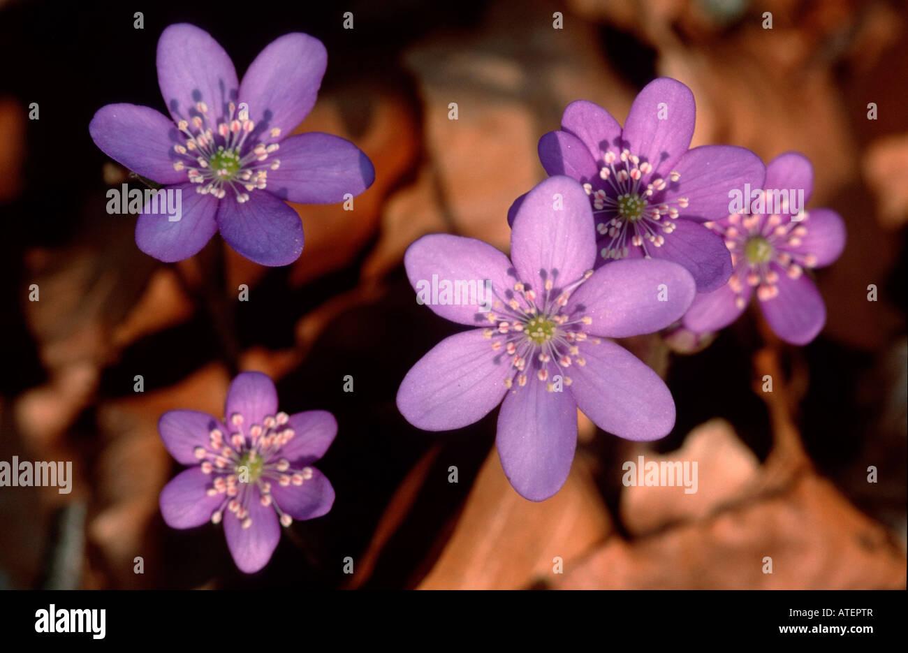 Hepatica / Leberbluemchen Stock Photo
