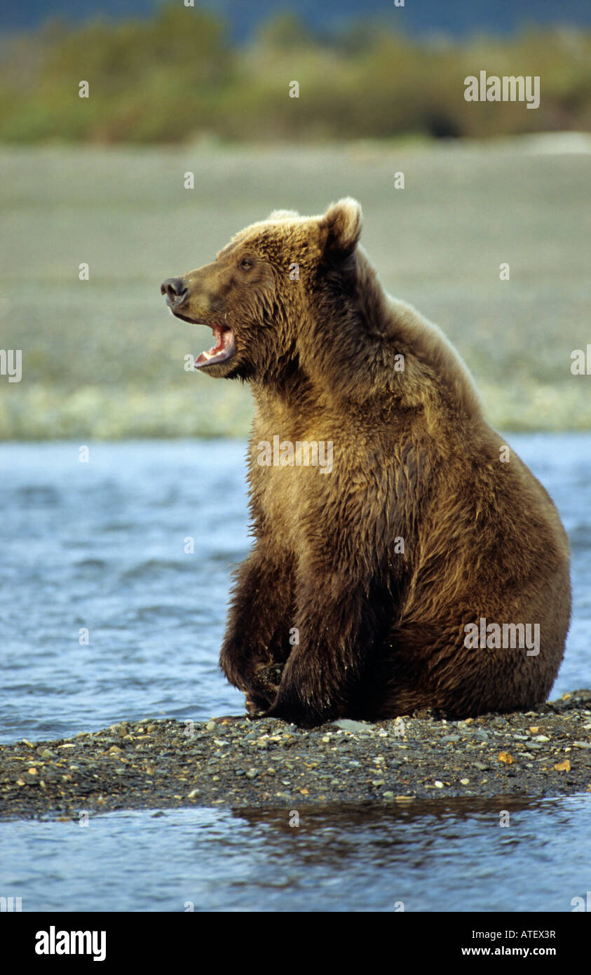 Grizzly bear sitting up - photo#29