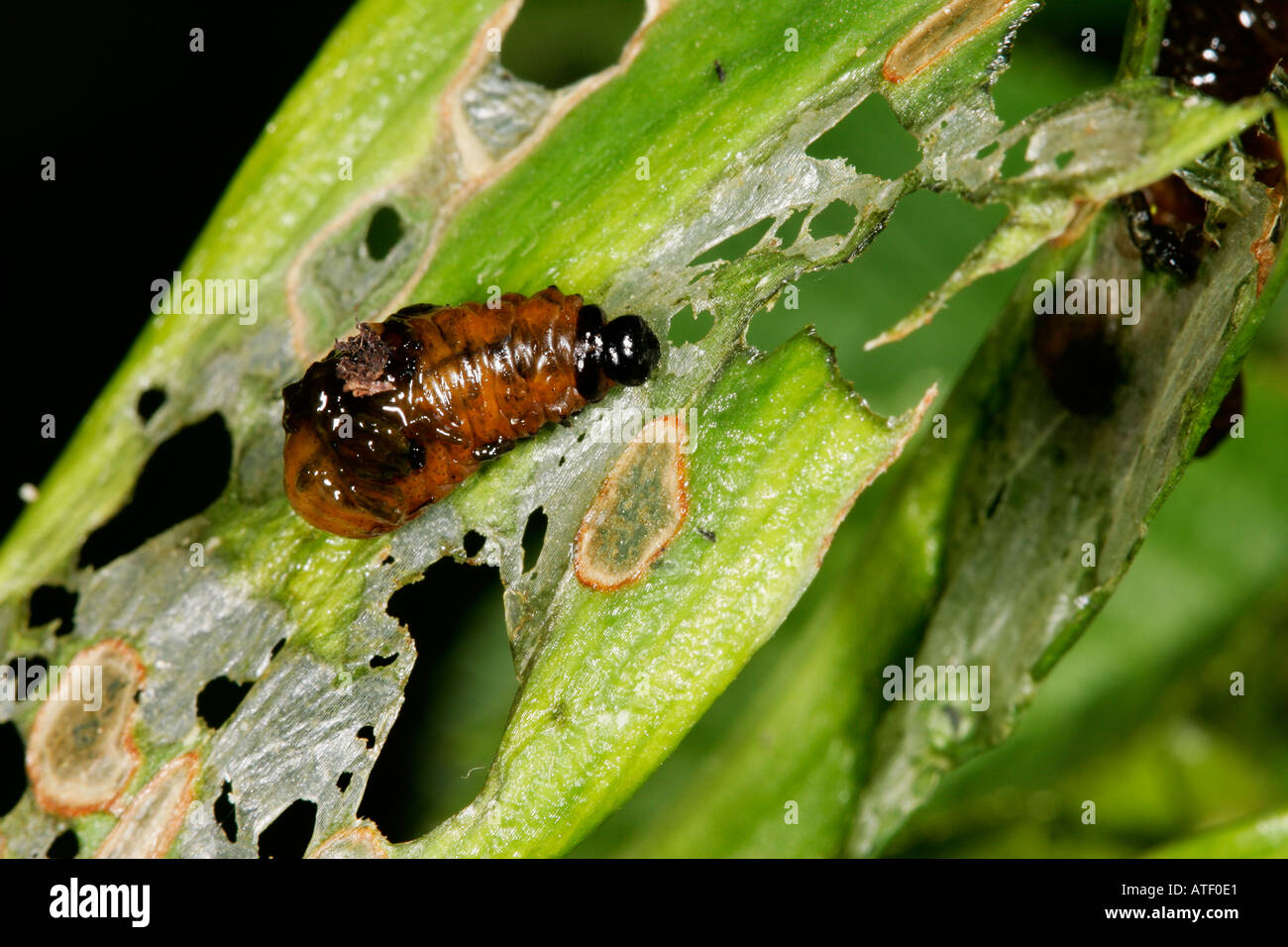 Lilly Beetle Liloceris lili Larvae covered in feces on lilly stem potton bedfordshire - Stock Image