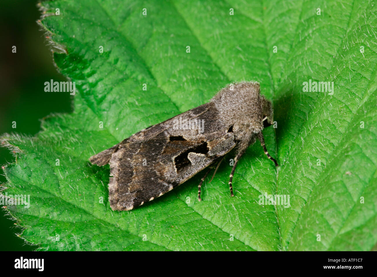 Hebrew Character Orthosia gothica at rest on leaf potton bedfordshire - Stock Image