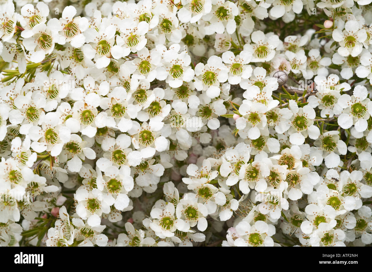 White Wax Flowers Stock Photos White Wax Flowers Stock Images Alamy