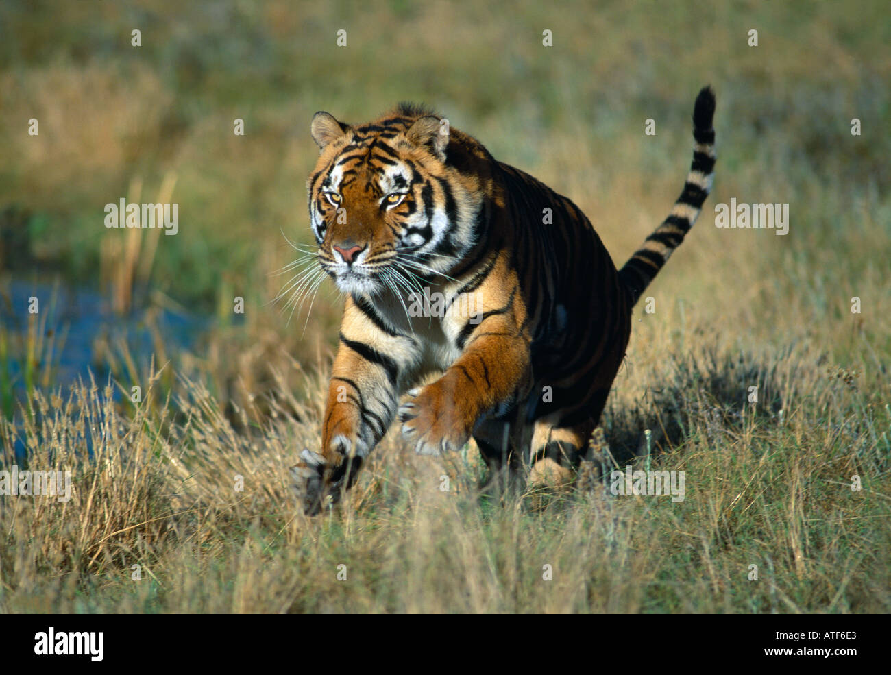 bengal tigers running stock photos & bengal tigers running stock