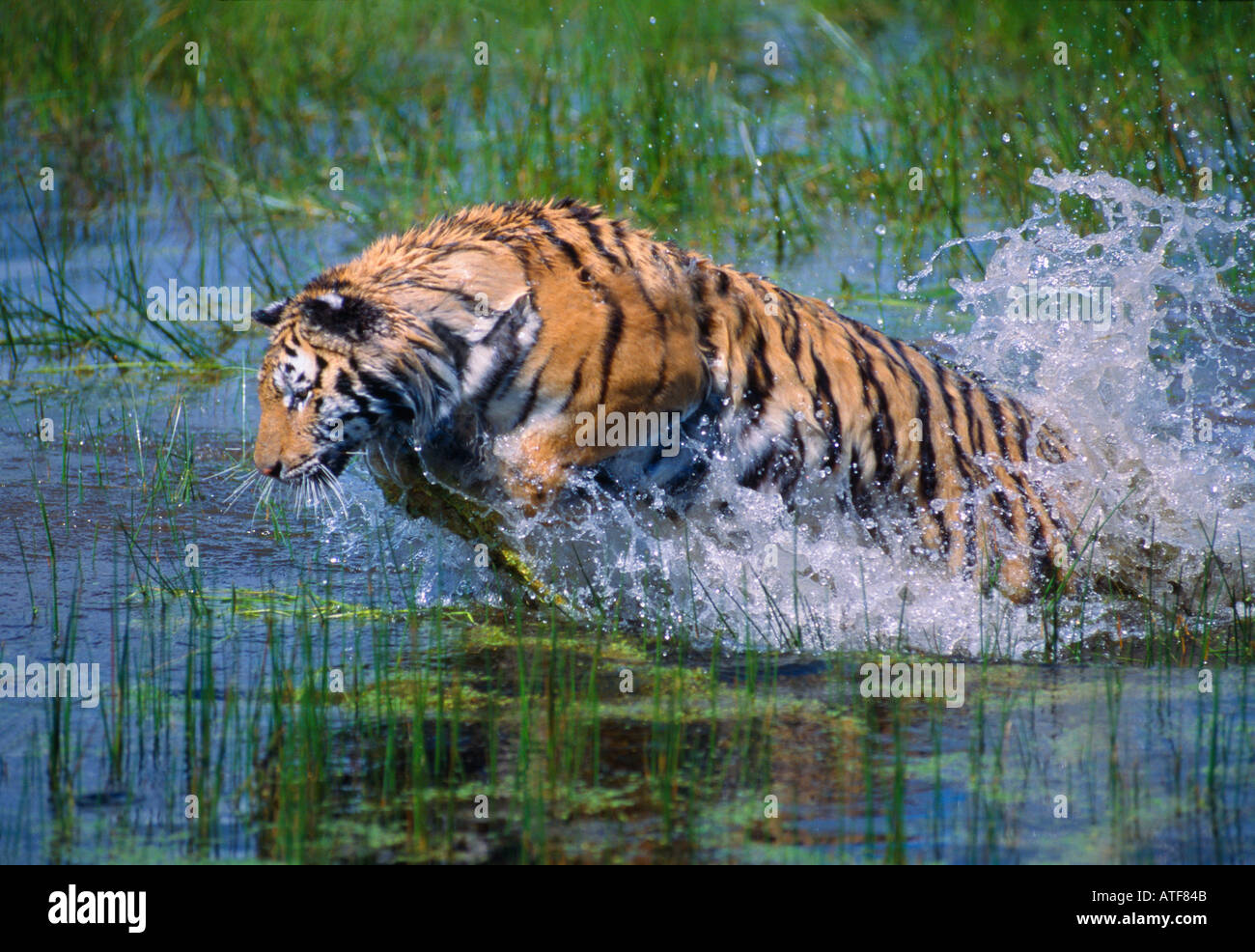 bengal tiger running through the water wildlife model stock photo