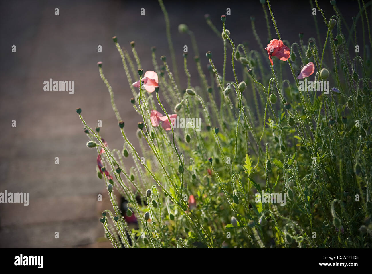 Poppies budding - Stock Image