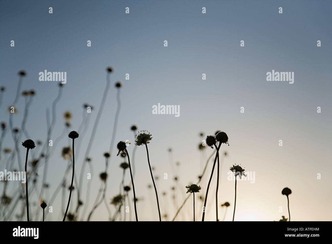 Silhouetted plants at sunset - Stock Image