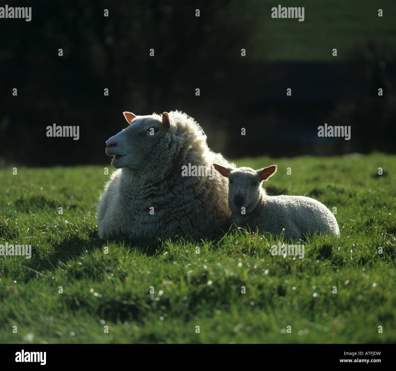 Rouge de l Ouest cross ewe lying down with her lamb - Stock Image