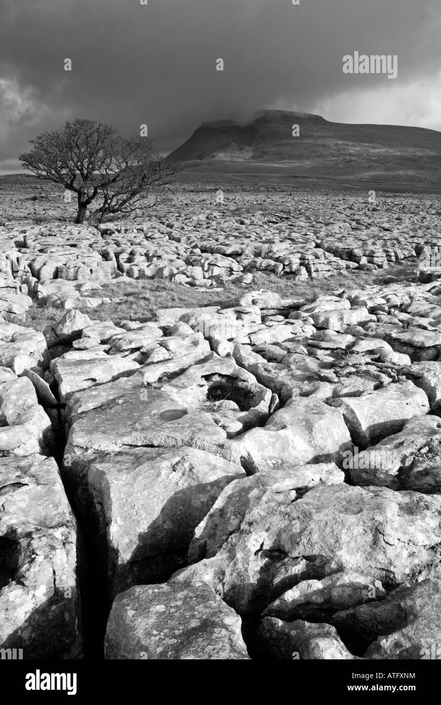 Lone hawthorn tree on limestone pavement below Ingleborough,White Scars,North Yorkshire - Stock Image