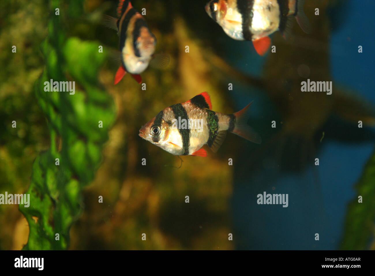 Barbus tetrazona tropical fish Stock Photo
