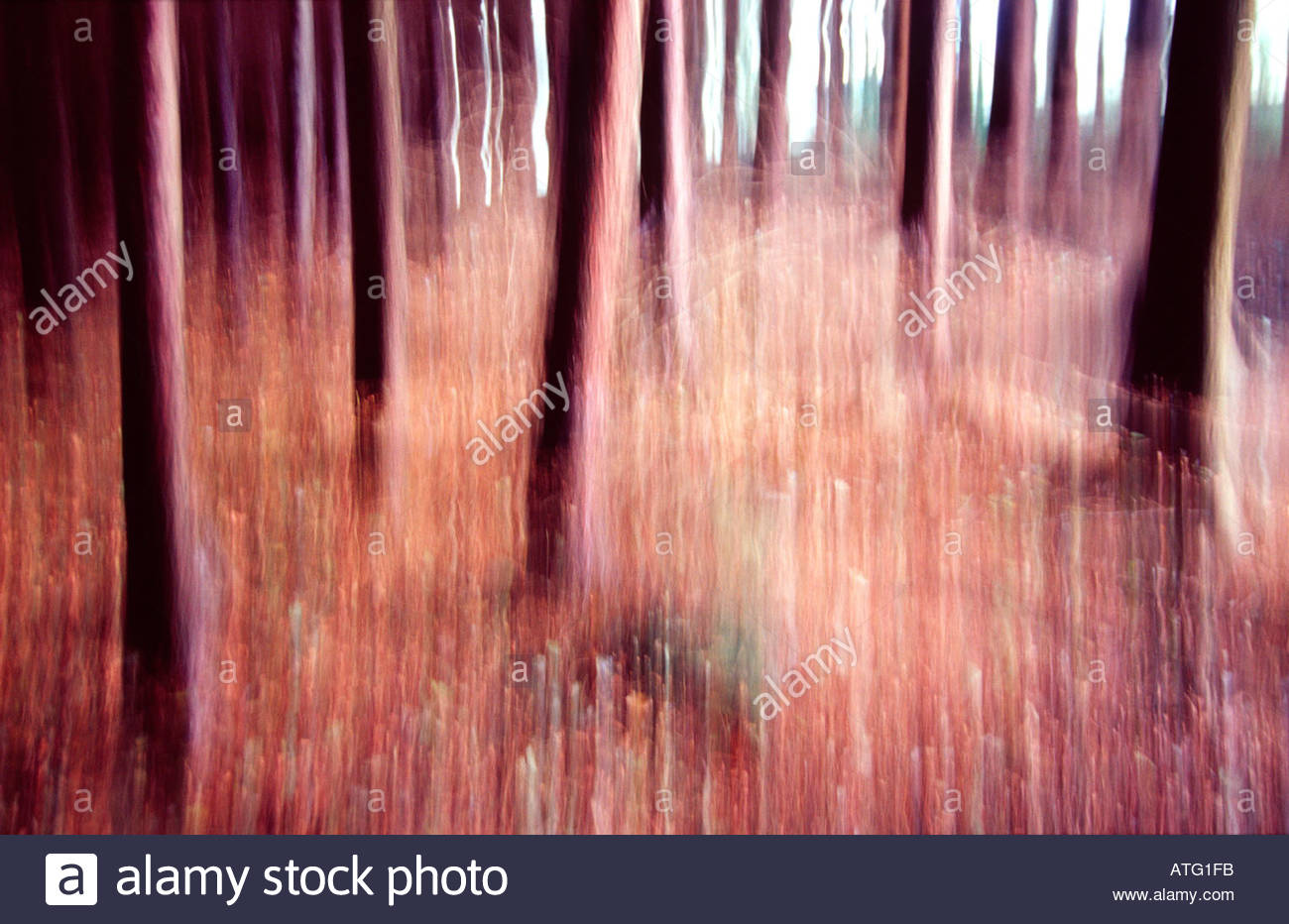 Dancing pine trunks, Tollymore Forest, Co Down, Ireland - Stock Image