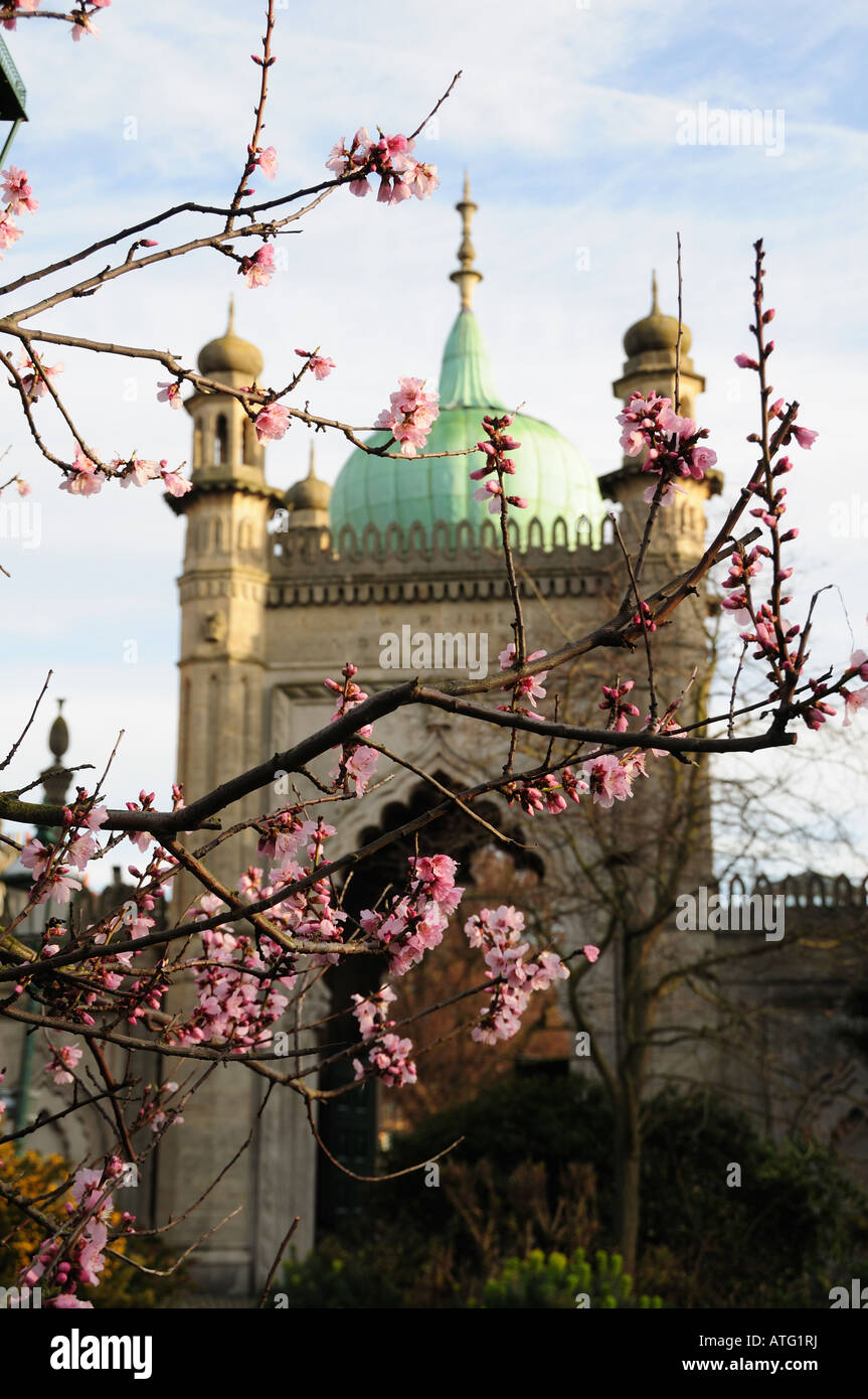 A cherry tree flowering in Brighton Pavilion Gardens, Brighton, East Sussex, England - spring time - Stock Image
