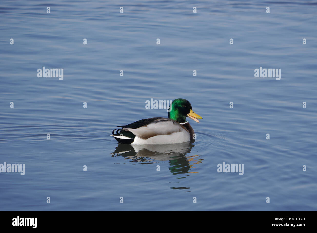 Male mallard (Anas platyrhynchos) on lake Stock Photo