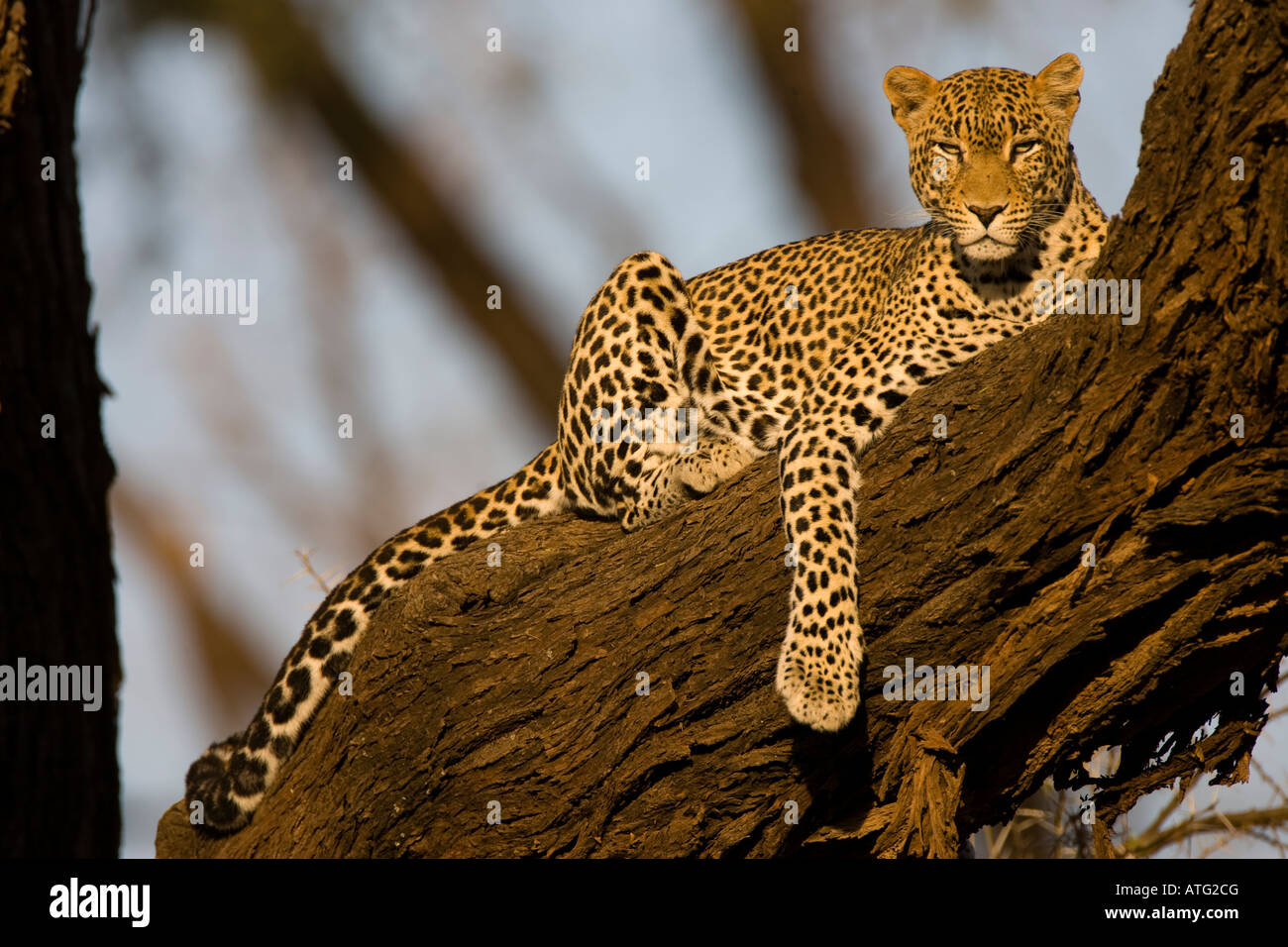 Leopard (panthera pardus) in tree - Stock Image