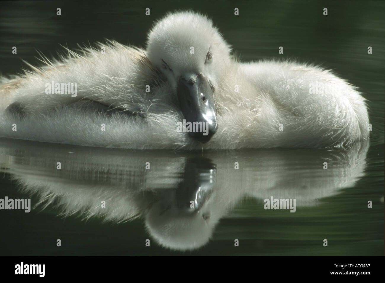 Mute swan - chick in water / Cygnus olor Stock Photo