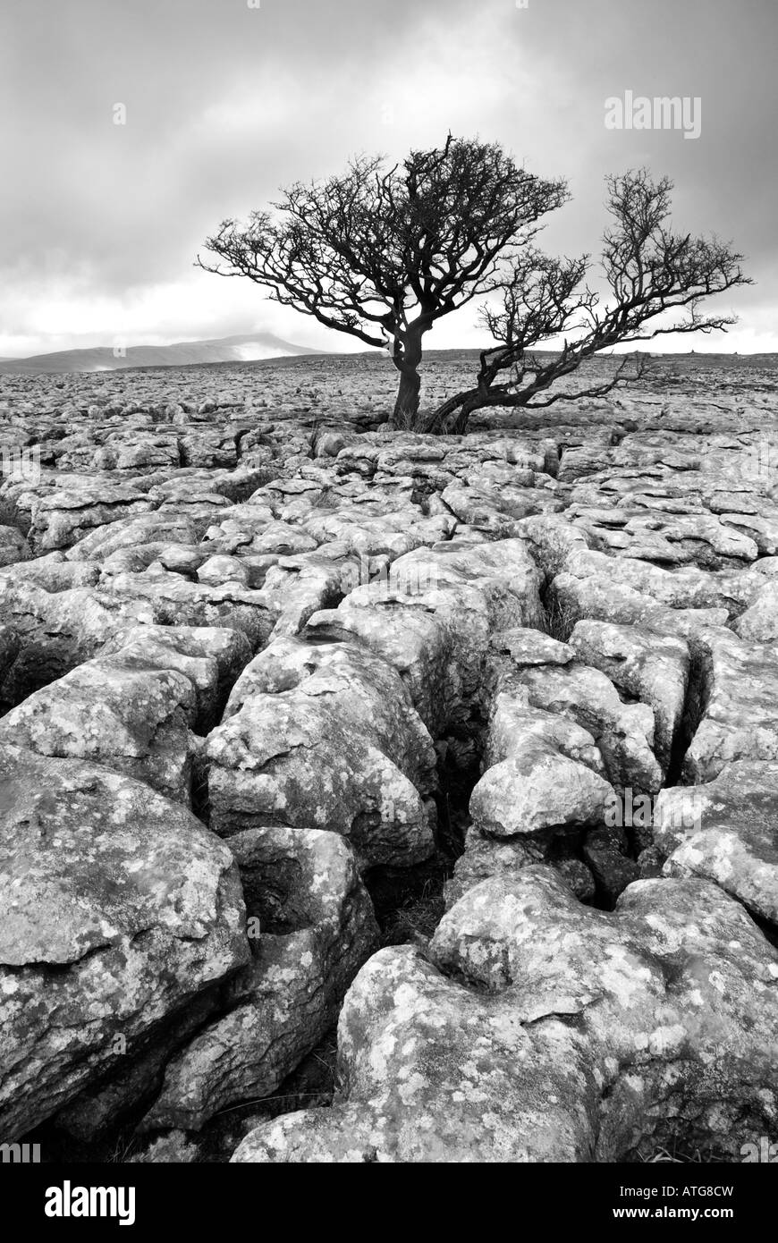 Lone hawthorn tree on limestone pavement with Whernside in the distance,White scars,North Yorkshire - Stock Image