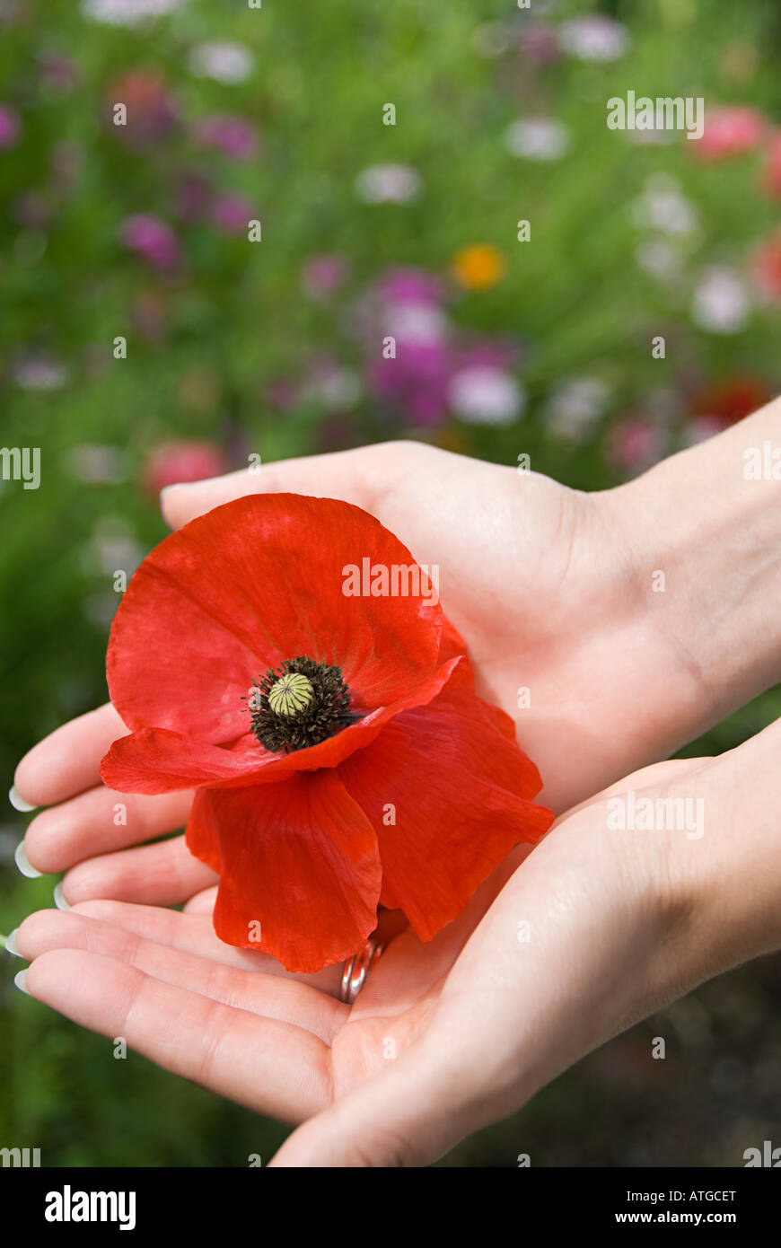 Woman holding a poppy - Stock Image