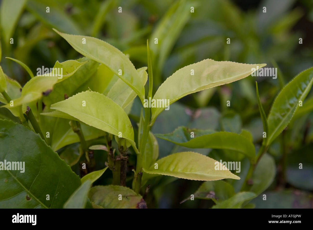 the tip of the tea plant leaf is known as silvertip - Stock Image