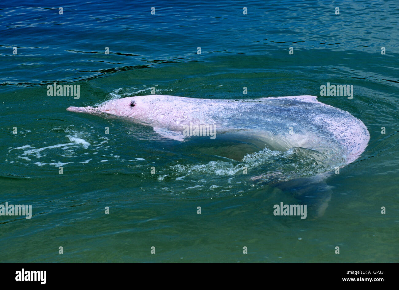 Indo Pacific humpback dolphin pink phase (Sousa chinensis) Captive - Stock Image