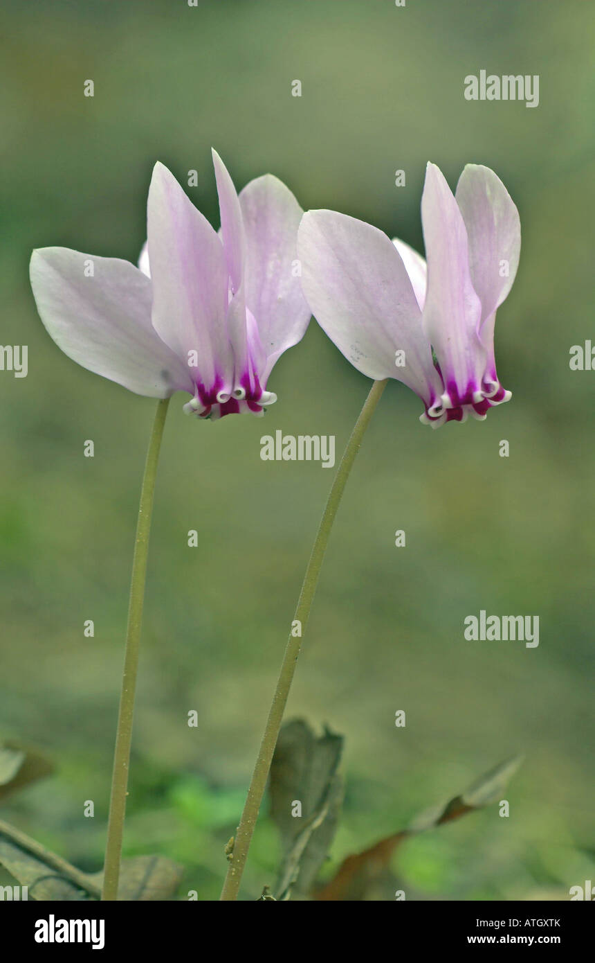 Ivy-leaved Cyclamen (Cyclamen persicum), flowering - Stock Image