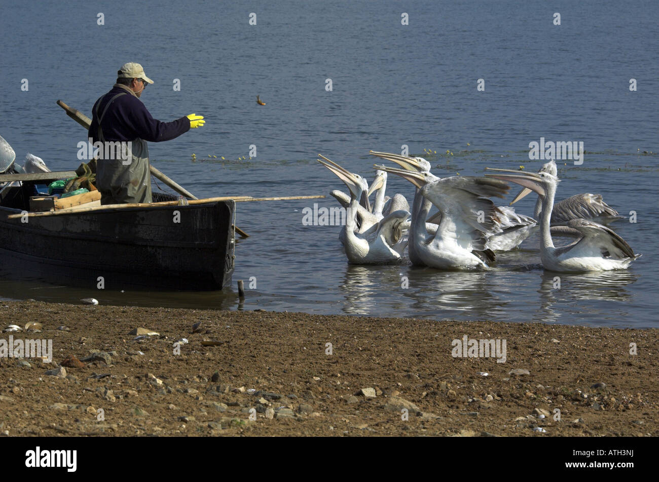 Dalmatian Pelican (Pelecanus crispus). Group next to fishing boat hoping for a hand out - Stock Image