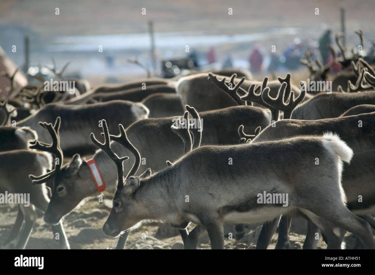 Reindeer during the autumn round up Kuorpak nr Jokkmokk Lapland Sweden Stock Photo