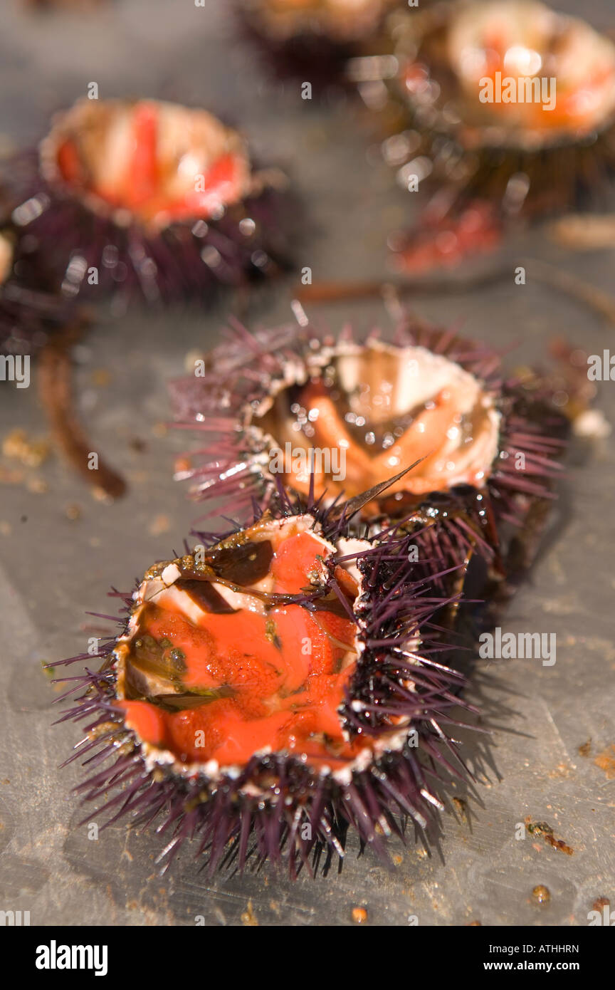 Opened sea urchins on a metal table 2007 - Stock Image