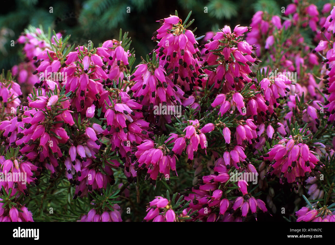 Erica Carnea 'Myretoun Ruby', heather heathers ericas - Stock Image