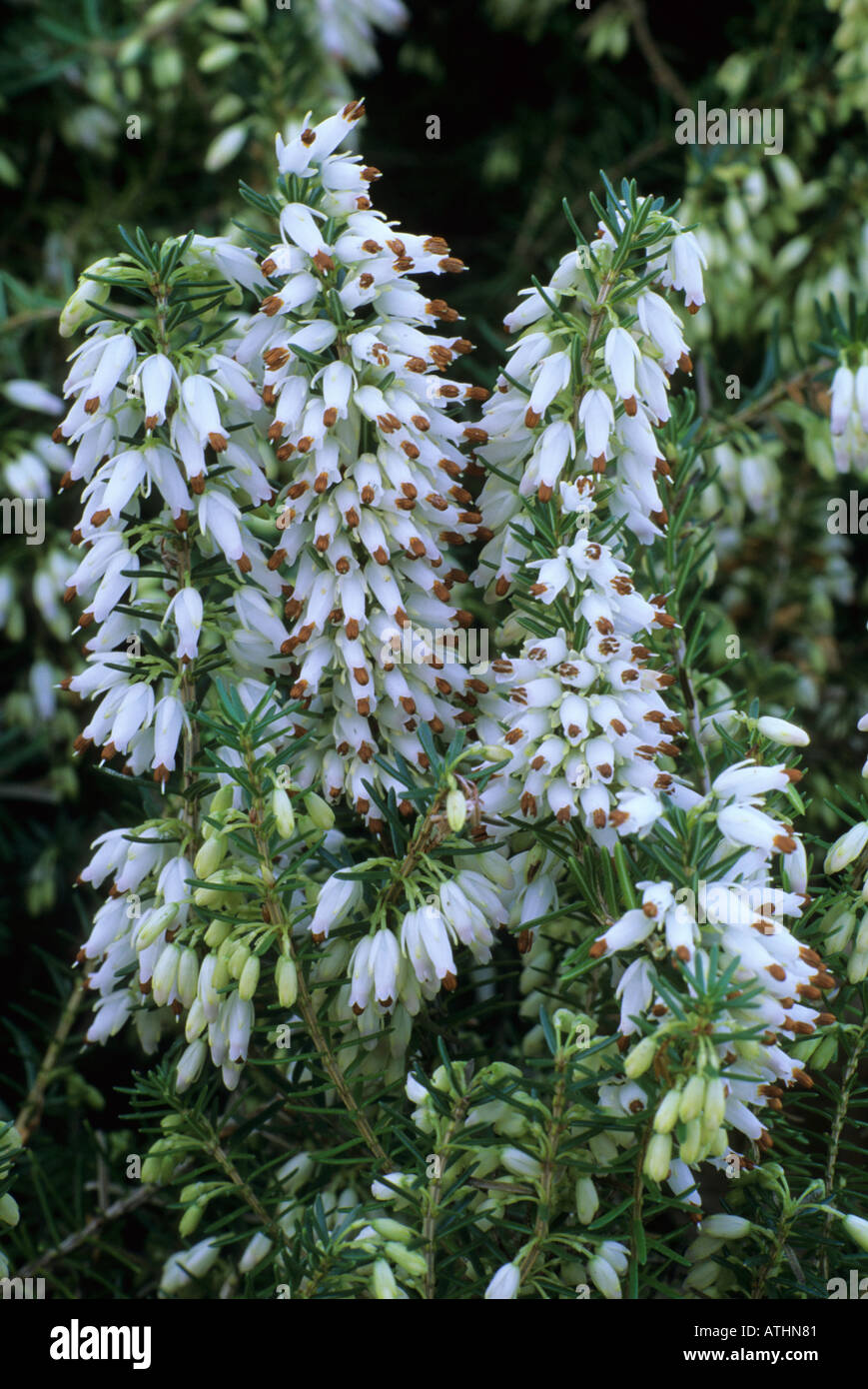 Erica Carnea Springwood White Heather White Ground Cover Plant