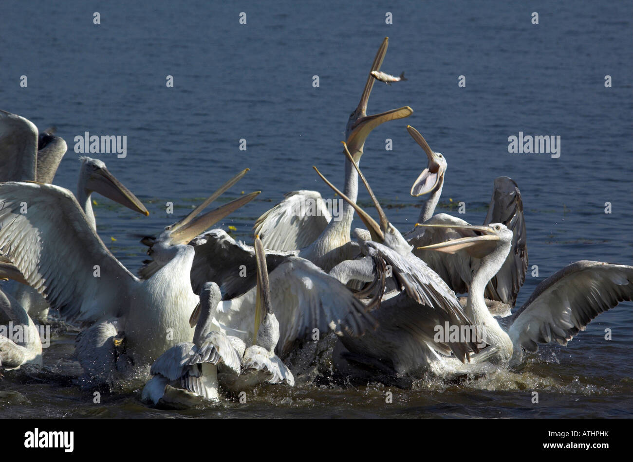 Dalmatian Pelican (Pelecanus crispus). Group squabbling over a fish that has been thrown to them - Stock Image
