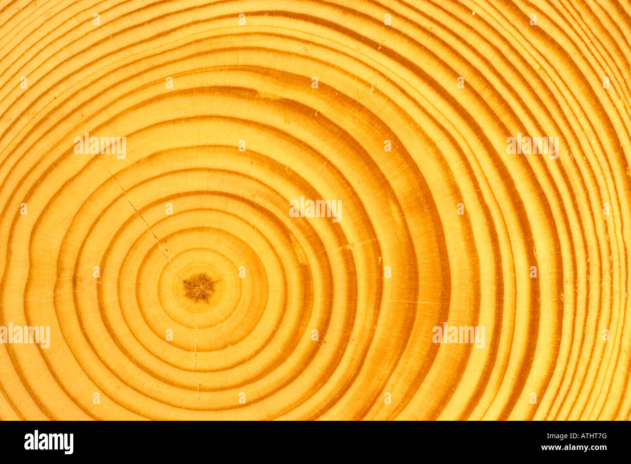 Scots Pine (Pinus sylvestris) slice through trunk showing growth rings - Stock Image