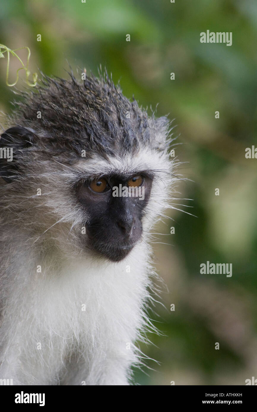 Vervet monkeys are mammals of the highest order who adapt well to a range of environments in Eastern and South Africa - Stock Image