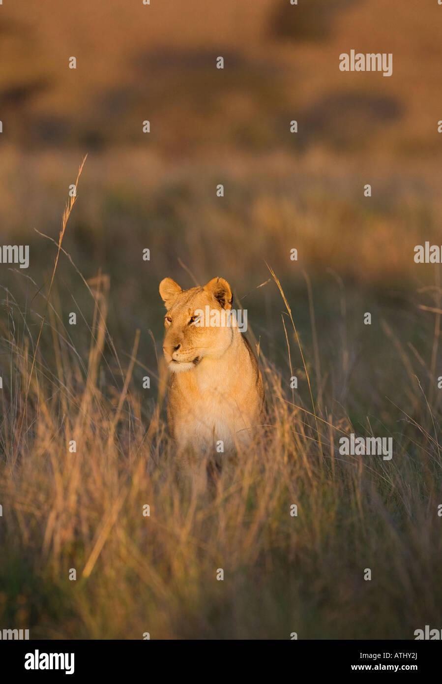 Lioness (panthera leo), Masai Mara, Kenya - Stock Image