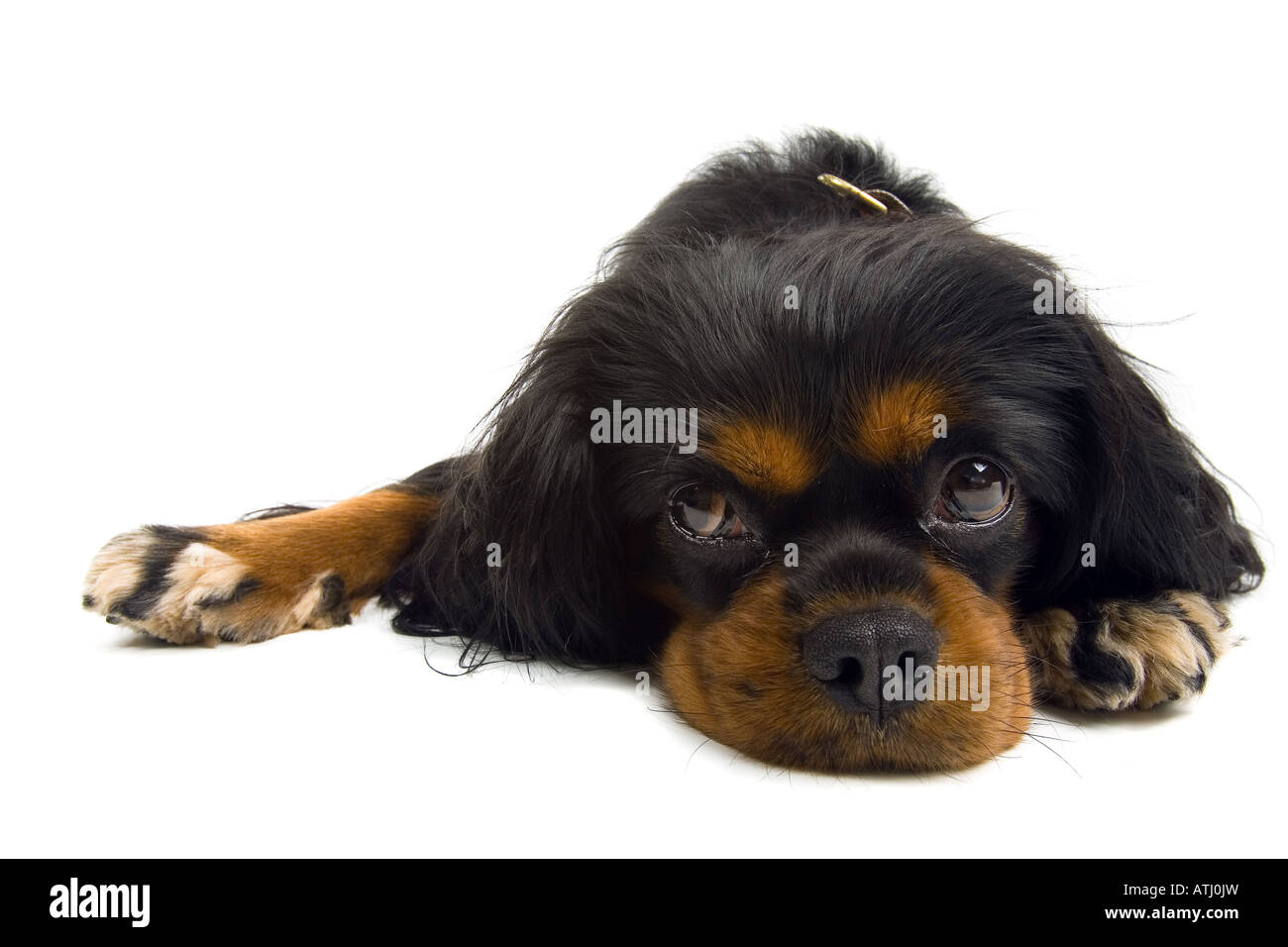 Cavalier King Charles Spaniel dog isolated on a white background - Stock Image