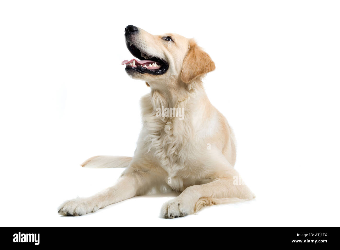 golden retriever isolated on white - Stock Image